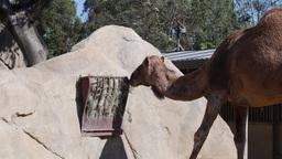 Camel feeding on grass Footage