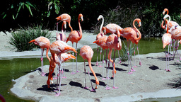 Group of pink flamingos Footage