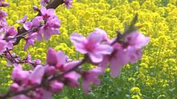 Rapeseed flowers and peach flowers Footage