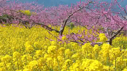 Rapeseed flowers and peach flowers Footage