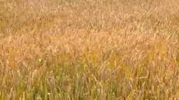 Wheat field swaying in the wind Footage