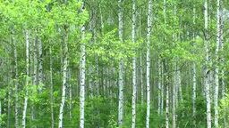White birch forest Footage