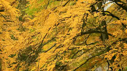 Yellow leaves of cercidiphyllum japonicum Footage