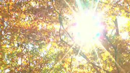紅葉のブナ林と木漏れ日 Footage