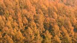 Yellow leaves of larch Footage
