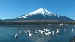 Mt. Fuji and a swan at Lake Yamanaka Footage