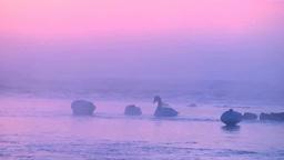 けあらしたつ朝の十勝川と白鳥 Footage
