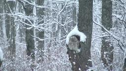 降雪とエゾフクロウ Footage