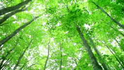Fresh green of beech of Beauty Forest Footage