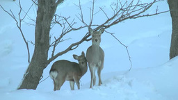 Shika Deer Family stock footage