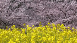 Rape blossoms and cherry tree Footage