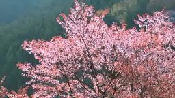 Yoshino cherry blossoms Footage