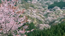 Yoshino cherry blossoms Footage