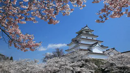 Tsuruga castle and cherry blossoms Footage