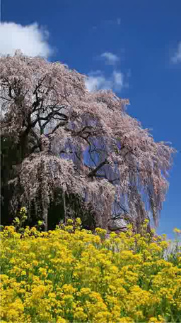 Kassenba rape blossoms and weeping cherry blossoms Footage