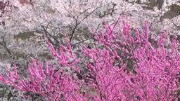 花見山の桜と花桃 Footage