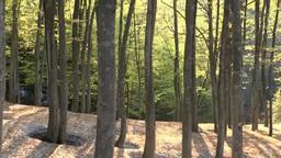 朝の美人林のブナの新緑と残雪 Footage