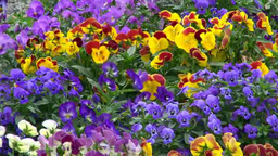 Pansy Footage