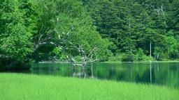 オンネトーの新緑の湖畔とカモ Footage