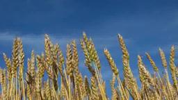 風に揺れる小麦の穂 Footage