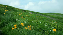 Daylily on Mount Chokai Footage