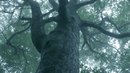 霧の中のブナの巨木 Footage