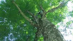 白神山地のマザーツリーのブナ Footage