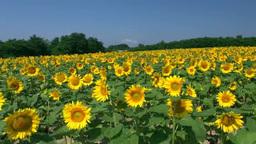 Sunflower Footage