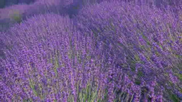 Lavender swaying in the wind Footage