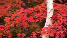 Autumn leaves and white birch trees Footage