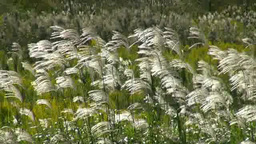 Pampas grass swaying in the wind Footage