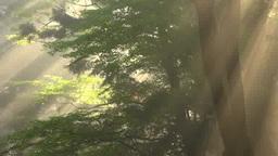 朝の森の光芒 Footage