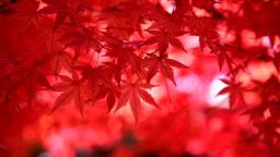 風に揺れる紅葉 Footage