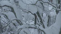 雪降るブナ林 Stock Video Footage