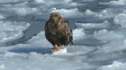 White-tailed eagle and Steller's Sea Eagle Stock Video Footage
