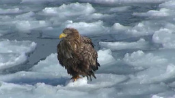 White-tailed eagle and Steller's Sea Eagle Footage