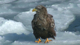 White-tailed eagle Stock Video Footage
