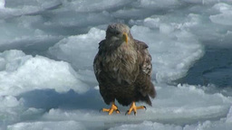 White-tailed eagle Footage