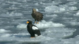 White-tailed eagle and Steller's Sea Eagle Footage