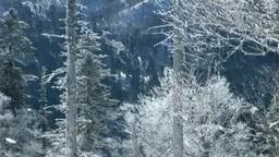 霧氷の森と降雪 Stock Video Footage