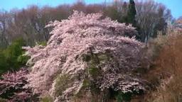 Flowers on Mt. Hanamisan Stock Video Footage