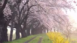 朝靄の一目千本桜 Footage