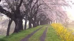 朝靄の一目千本桜 Stock Video Footage