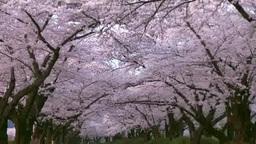 北上市立公園展勝地の桜並木 Stock Video Footage