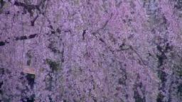 角館武家屋敷と桜 Stock Video Footage
