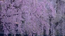 角館武家屋敷と桜 Footage