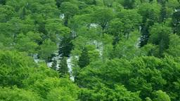 八甲田山の残雪と新緑のブナ林 Stock Video Footage