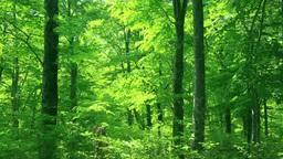 白神山地の新緑のブナ林 Footage