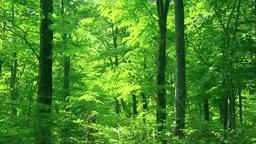 白神山地の新緑のブナ林 Stock Video Footage