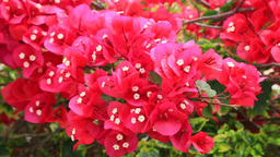 Bougainvillea Stock Video Footage